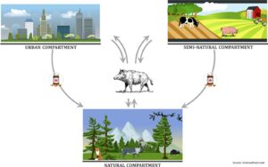 Wild boar as a reservoir of antimicrobial resistance